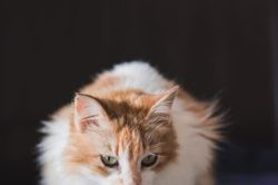 Rousette, Chat à adopter