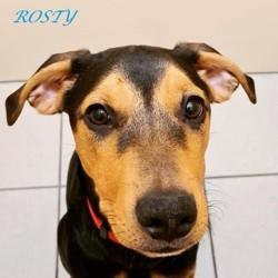 Rosty, Chiot à adopter