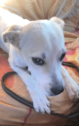 Shelly, Chiot à adopter
