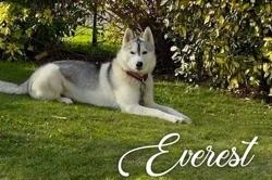 Everest, Chien husky sibérien à adopter