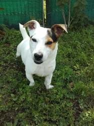 Association un espoir de chien, Chien jack russell terrier à adopter