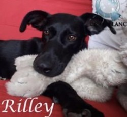 Rilley, Chien à adopter