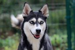 Oceane, Chien husky sibérien à adopter