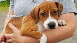 Benji, Chiot à adopter