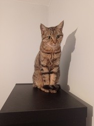 Pirouette, Chat à adopter