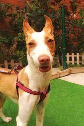 Catalina (sonrisa animal), Chiot podengo portugais à adopter