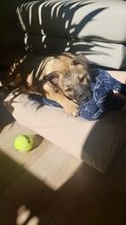 Konig, Chiot à adopter
