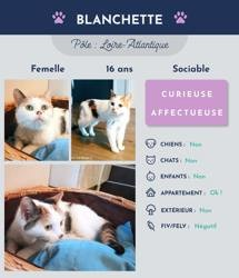 Blanchette, Chat à adopter
