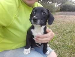 Svart (réservé), Chiot à adopter