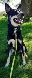 Kenza, Chien beauceron, husky sibérien à adopter