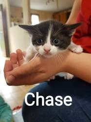 Chase, Chaton à adopter