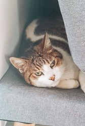 Fifouille, Chat européen à adopter