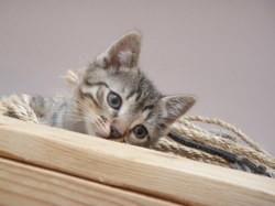 Sissi petite chatonne d'environ deux mois, Chaton européen à adopter