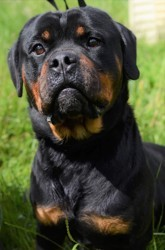 Marly, Chien rottweiler à adopter