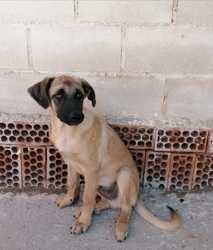 Gascon, Chiot à adopter