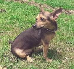 Aya, petite chienne croisée pinsher, Chien à adopter