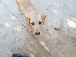 Pepito (amigos peludos), Chiot à adopter