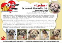 Lycka, Chiot lhassa apso à adopter