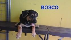 Bosco, Chiot à adopter