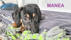 Manea, Chiot à adopter