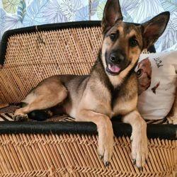 Bandit, Chien berger allemand à adopter