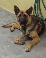 June, Chien berger allemand à adopter