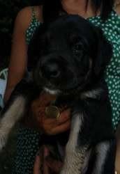 Shiva, Chiot à adopter