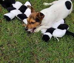 Petey, Chiot jack russell terrier à adopter