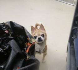 Buddy, Chien chihuahua à adopter