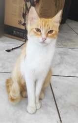 Sheeran, Chat à adopter