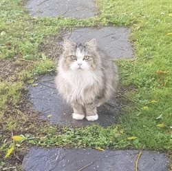 Mitaine, Chat européen à adopter