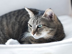 Coukizette, Chat à adopter