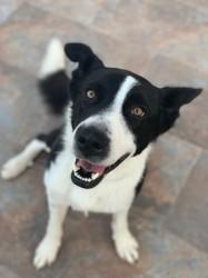 Dexter (101 huellas), Chiot à adopter