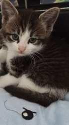 Bijou, Chaton à adopter