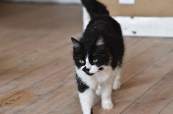 Poussycat, sublime chatte poils longs, Chat européen à adopter