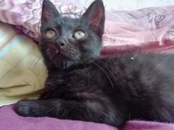 Socrate, magnifique chaton, Chaton européen à adopter