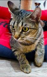 Richa, Chat européen à adopter