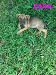 Zara, Chiot à adopter