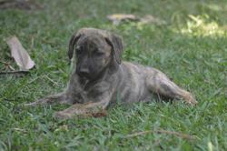 Shina (reservee !), Chiot à adopter