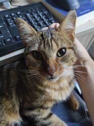 Galopin, Chat européen à adopter