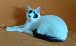 Blanco, Chaton européen à adopter