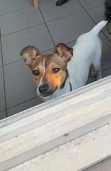 Sweety, Chiot jack russell terrier à adopter