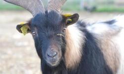 Sael (70105), Animal bouc à adopter