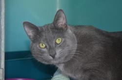 Dragibus, Chat chartreux à adopter