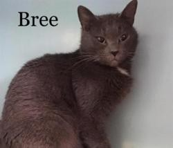 Bree, Chat chartreux à adopter