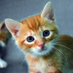 toulouse chaton chat domestique poil court adopter dans la r gion ile de france. Black Bedroom Furniture Sets. Home Design Ideas