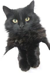 charly un pot de colle chat crois 233 1 2 angora 224 adopter dans la r 233 gion ile de