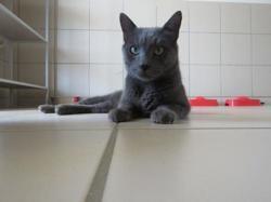 Eiko, Chat croisé / autre (chartreux) à adopter