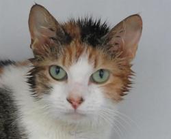 Anka, Chat croisé / autre (europeen) à adopter