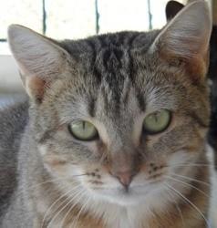 Dorine, Chat croisé / autre (europeen) à adopter